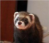 Фото в Домашние животные Услуги для животных Опытный хорёк Рикки (3 года) приглашает на в Омске 1000