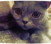 Foto в Домашние животные Найденные смесь британца, оранжеввые глаза,дымчатого в Стрежевой 0