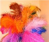 Фотография в Одежда и обувь Аксессуары Продаем перья страуса (20-25см,  60-80 см, в Москве 100