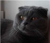 Фотография в Домашние животные Вязка Шотландец голубого окраса очень воспитанный в Костроме 0