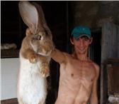 Foto в Домашние животные Грызуны Продаю племенных кроликов - гигантов породы в Самаре 2500