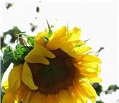 Изображение в Домашние животные Растения ООО «Кубань Агро» продает семена подсолнечника:Сорта в Краснодаре 100