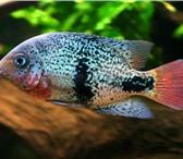 Foto в Домашние животные Рыбки Продаю аквариумную рыбу оптом и розницу, в Белокуриха 40