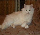 Foto в Домашние животные Вязка Срочно нужен любой домашний кот для вязки в Санкт-Петербурге 1