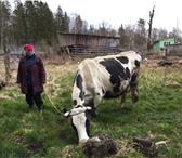 Foto в Домашние животные Другие животные Продается чистопородная корова. Порода черно-пестрая, в Москве 0