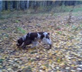 Изображение в Домашние животные Вязка собак Очаровательная девочка английский кокер-спаниель в Красноярске 0