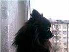Изображение в Домашние животные Вязка собак кобель черного немецкого шпица ищет невесту. в Иркутске 3000